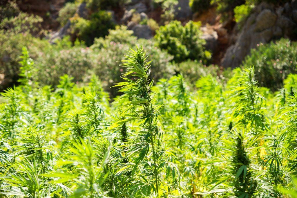 Marijuana Plants. Photo by Pixabay