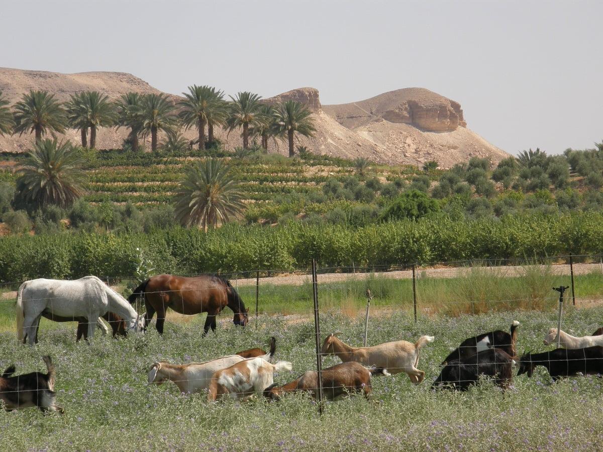 Horses and livestock graze at Kibbutz Neot Semadar. Courtesy Kibbutz Neot Semadar