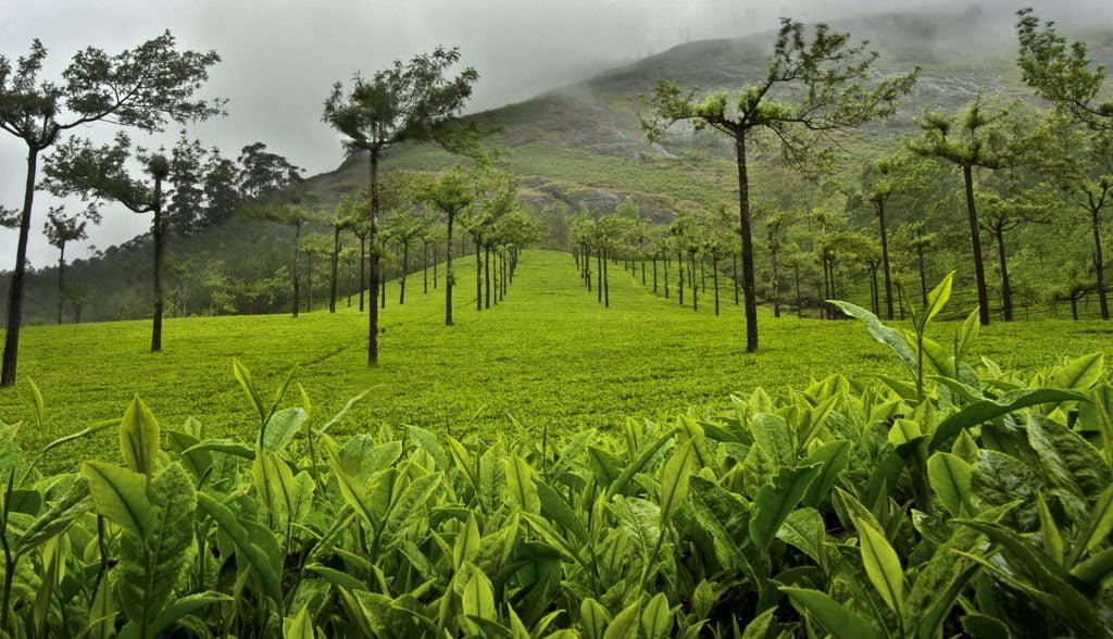An illustrative photo of a tea plantation in Munnar, India. Photo by Jakub Michankow via Flickr