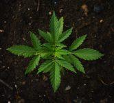 Marijuana Plant. Pixabay