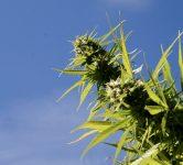 A cannabis plant. Brian Shamblen via Flickr