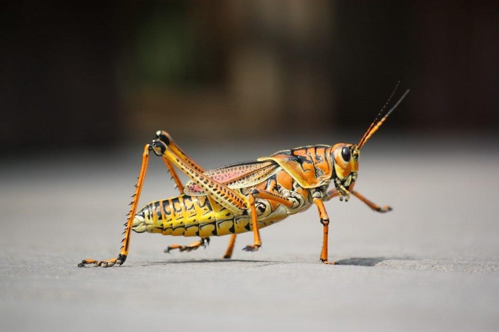 An illustrative photo of a grasshopper. Pixabay