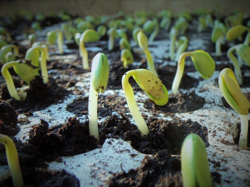 Soybean plants. Pixabay