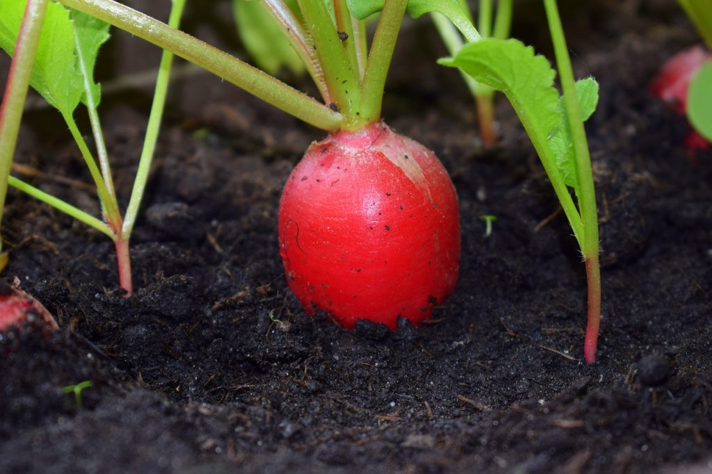 A root vegetable. Pixabay