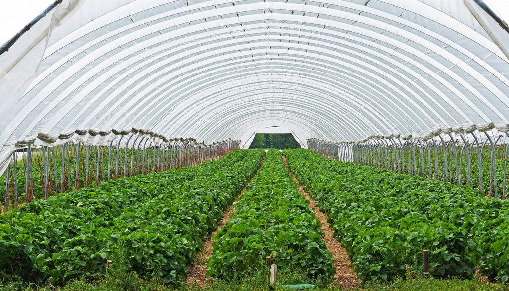 A strawberry field. Pixabay