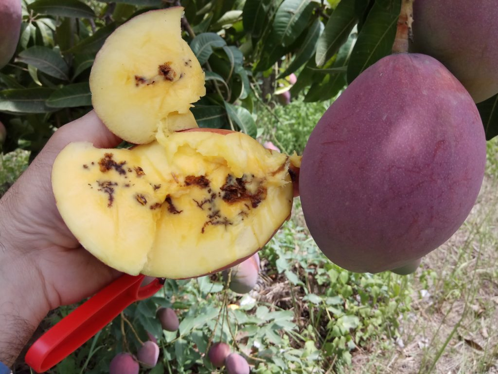 An infested mango. Courtesy of Biofeed