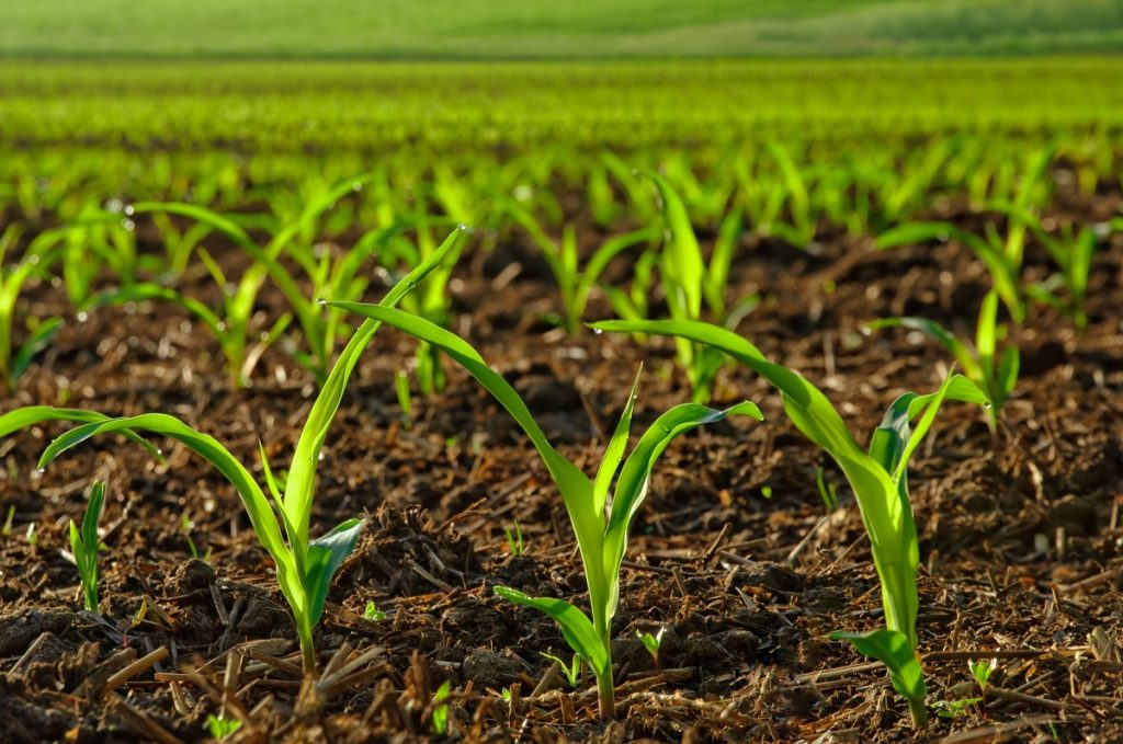 An illustrative photo of a corn field. Photo via Deposit Photos