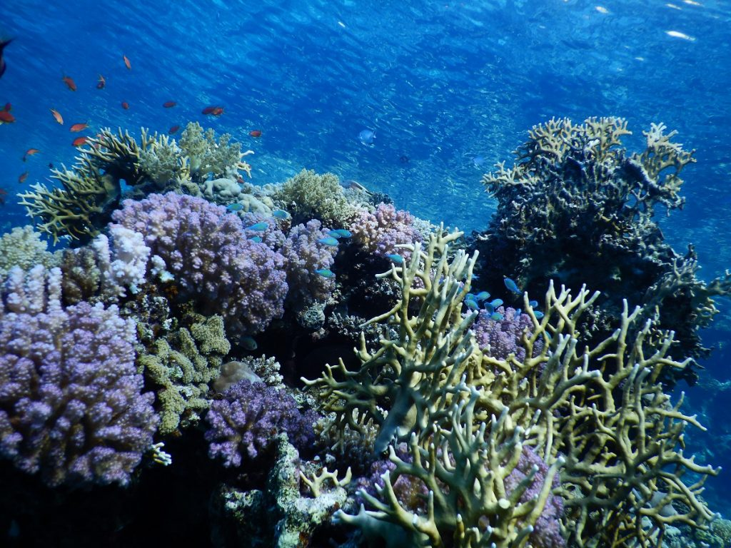 Coral reefs in the Red Sea. Photo by Professor Maoz Fine