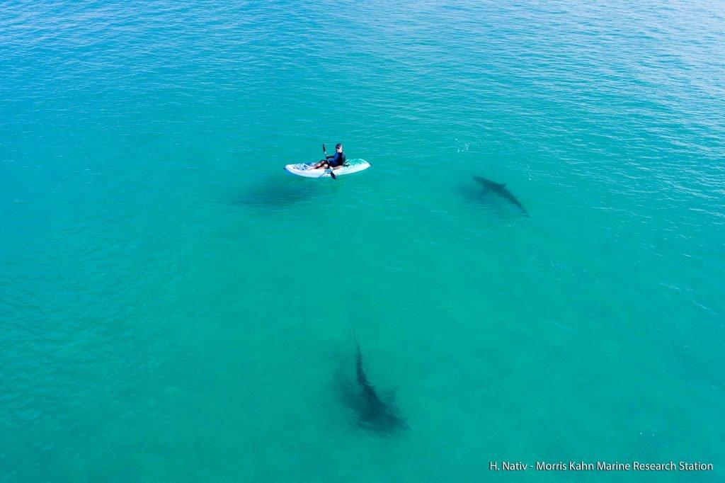 Sharks off the coast of Hadera, Israel. Photo by Hagai Nativ, Morris Kahn Marine Research Station, University of Haifa