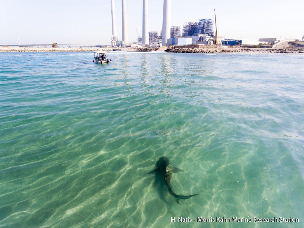 A shark seen swimming near the Hadera power plant in Israel. Photo by Hagai Nativ, Morris Kahn Marine Research Station, University of Haifa