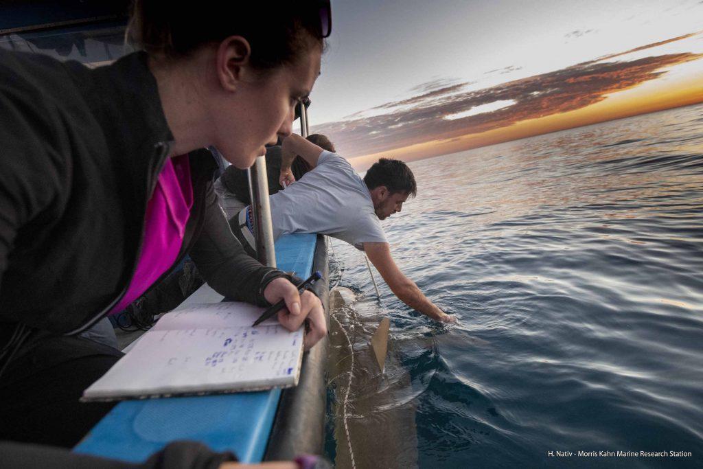 Shark researchers in the Mediterranean. Photo by Hagai Nativ, Morris Kahn Marine Research Station, University of Haifa