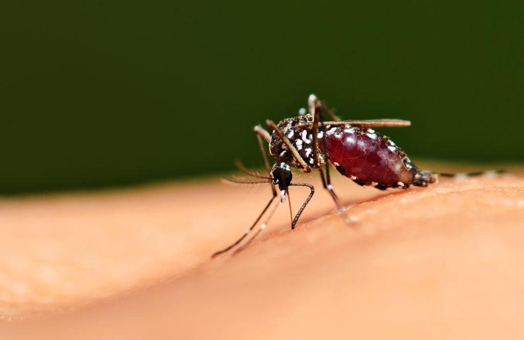 The Aedes mosquito. Deposit Photos