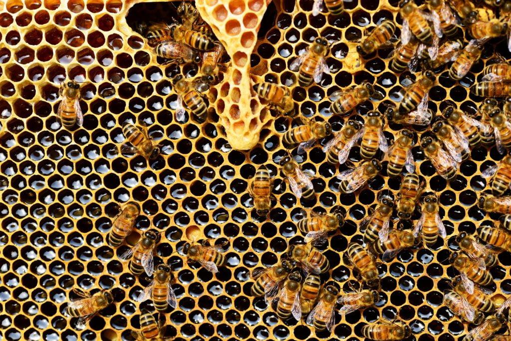 Honeybees. Photo via Pixabay