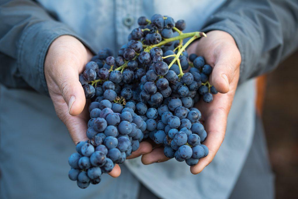 Carignan grapes. Photo: Vinsent