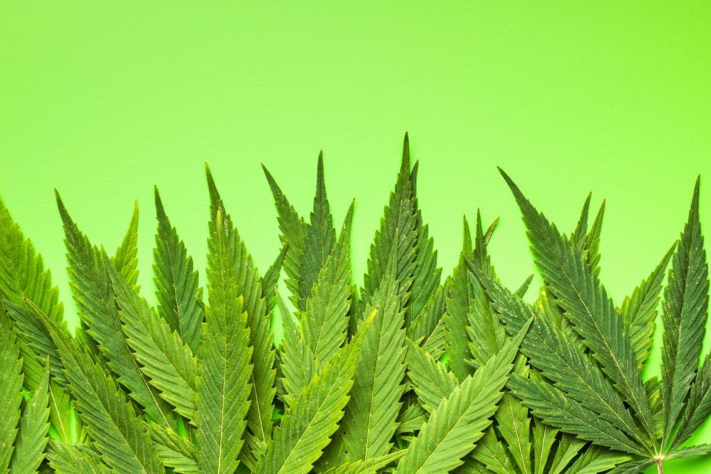 Cannabis leaves. Deposit Photos