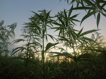 Cannabis plants. Photo by Matteo Paganelli on Unsplash